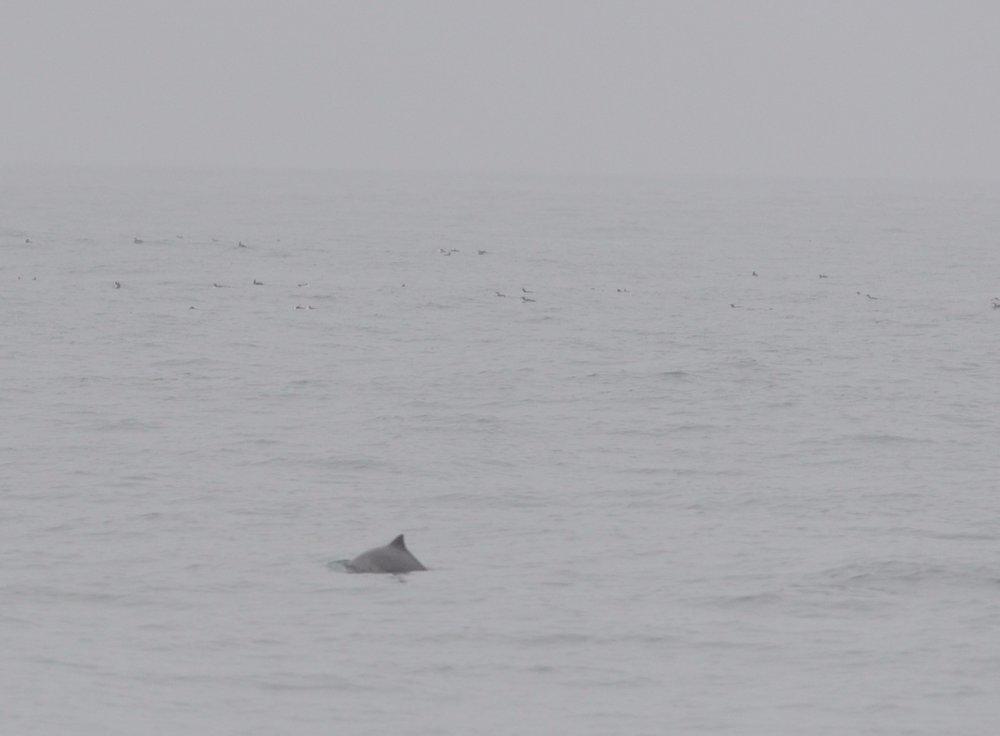 Harbor porpoise.