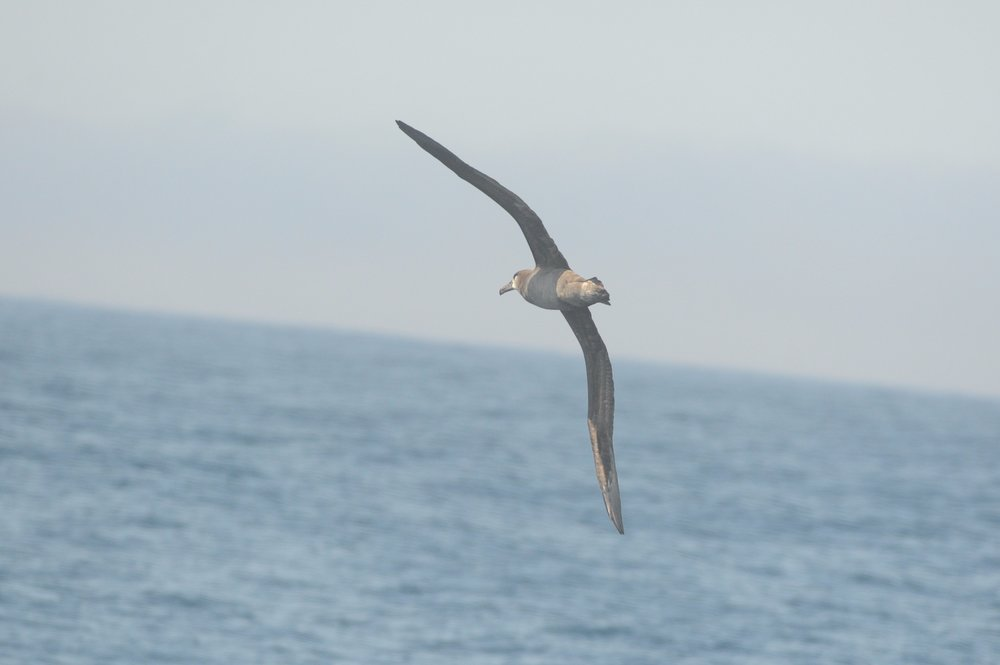 Black footed albatross.