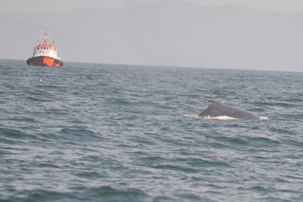 Humpback in front of pilot boat.