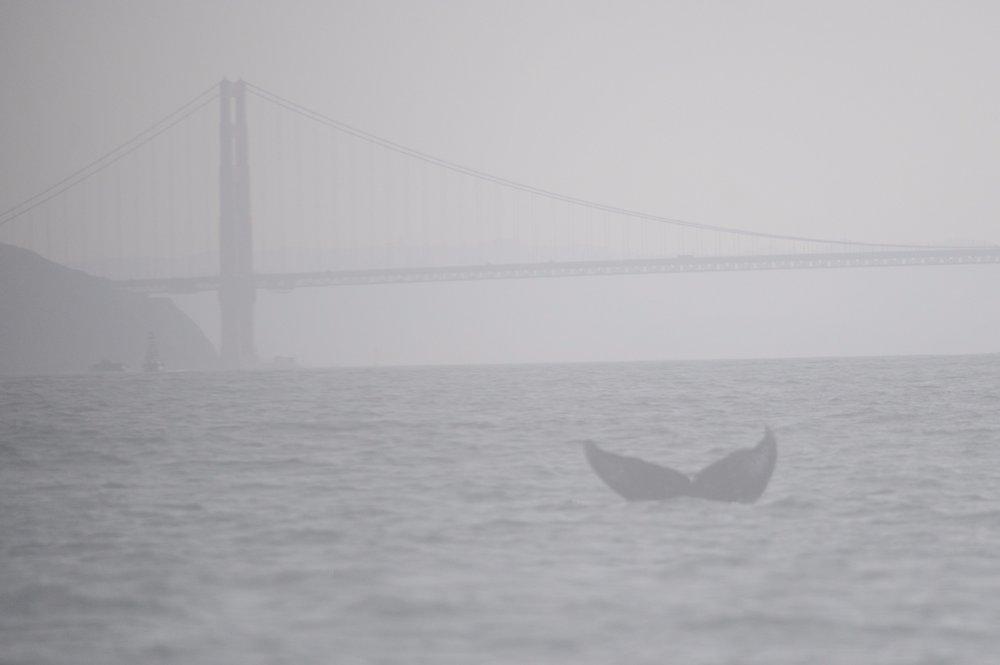 Humpback fluke in front of the Golden Gate Bridge.