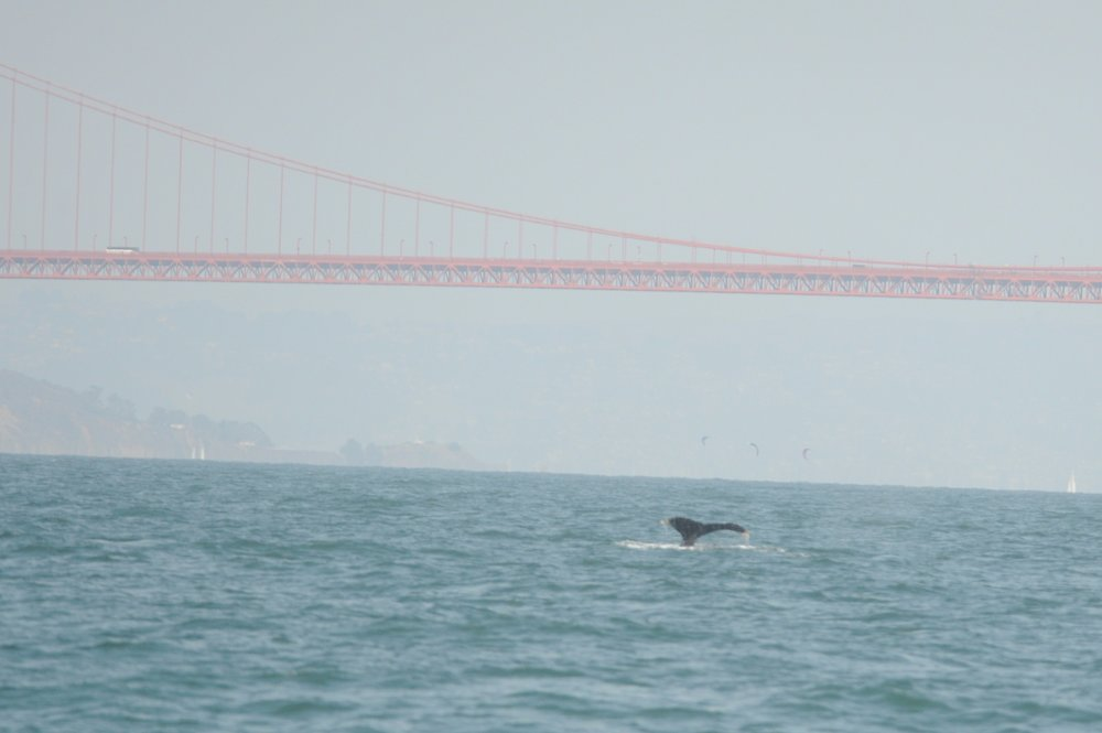 Humpback whale outside the Golden Gate Bridge.