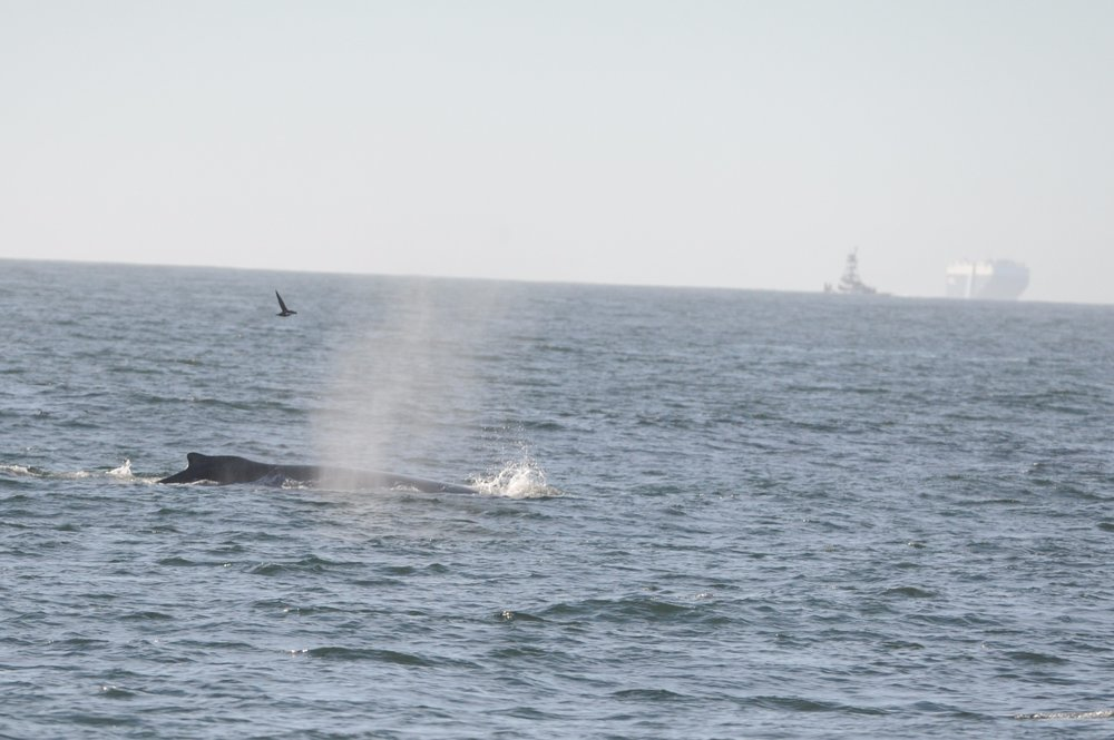 Whale with sooty shearwater and container ship nearby.