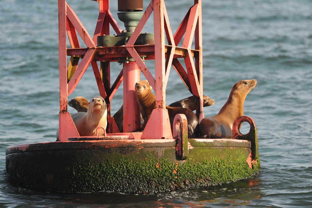 California sea lions resting on the shipping lane buoy.