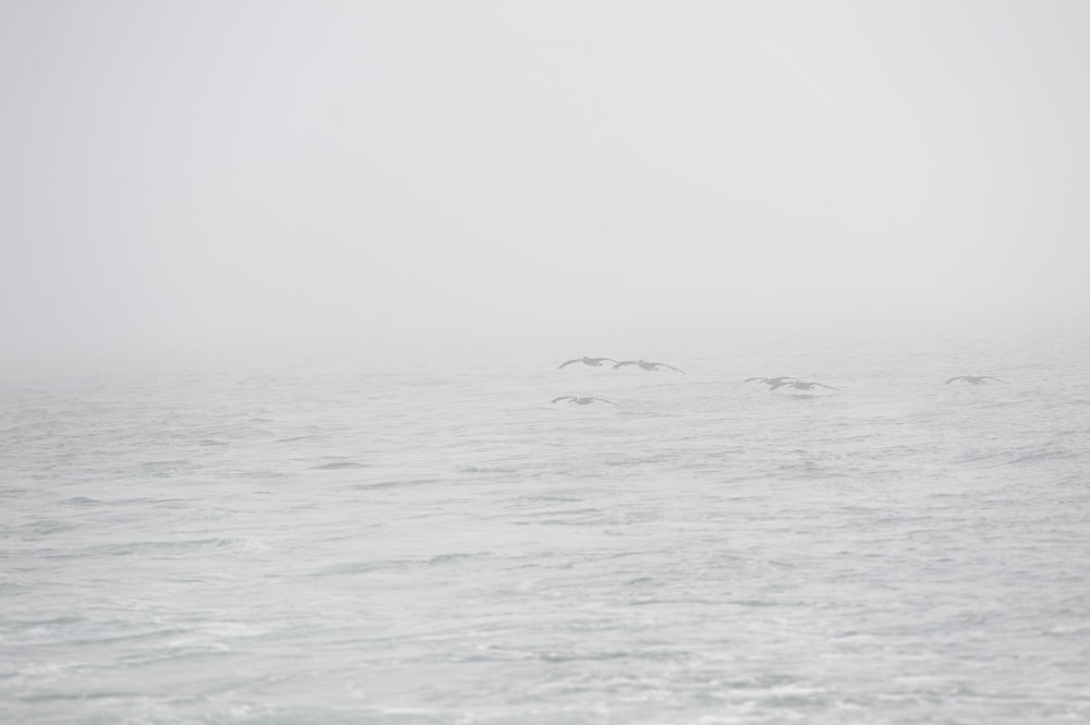 Brown pelicans gliding through the fog.