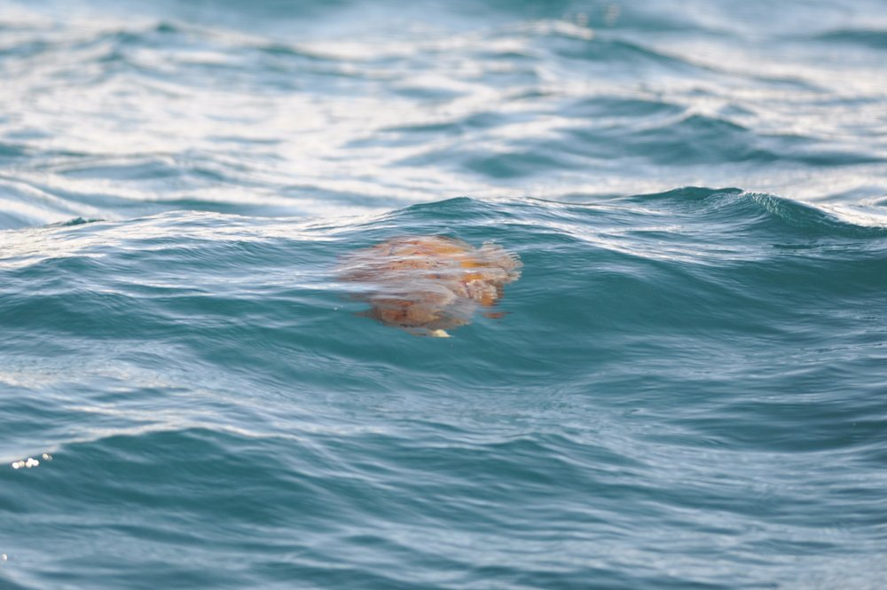 Pacific sea nettle floating near the surface.