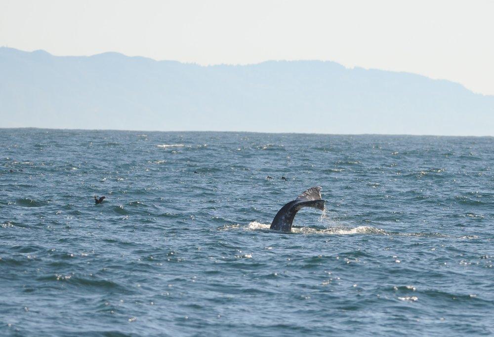 Gray whale fluke.