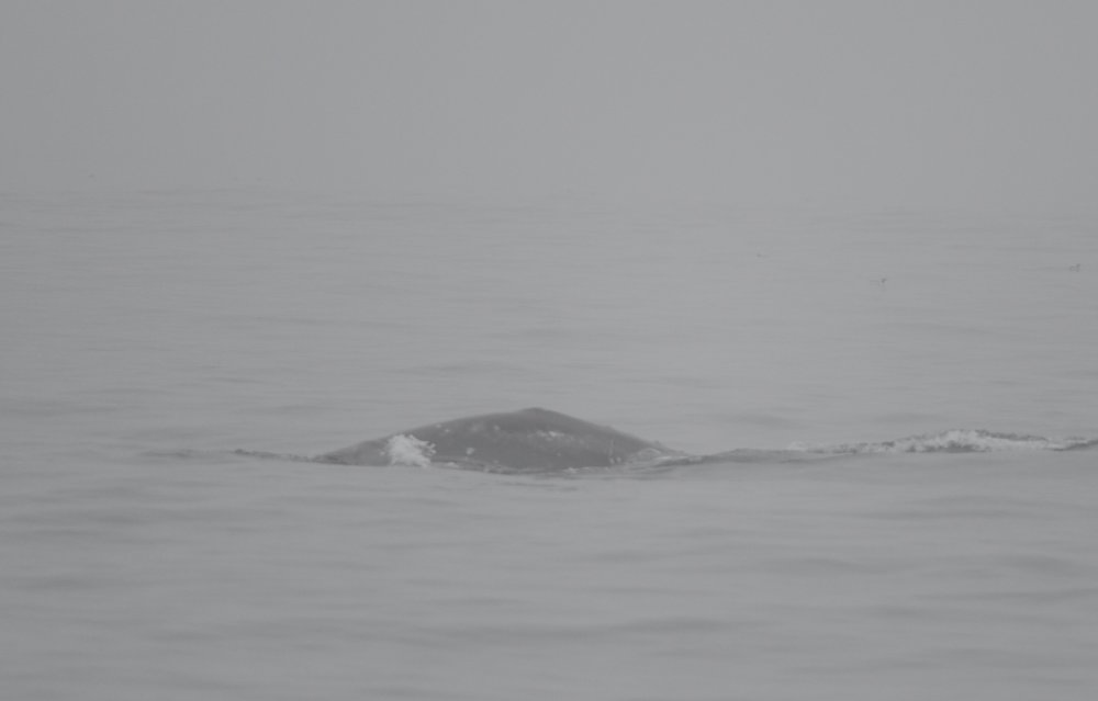 A gray whale appearing out of the mist.