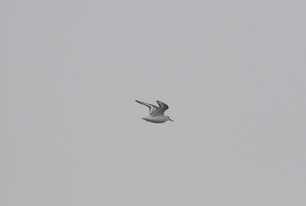 Sanderling,usually a shorebird.