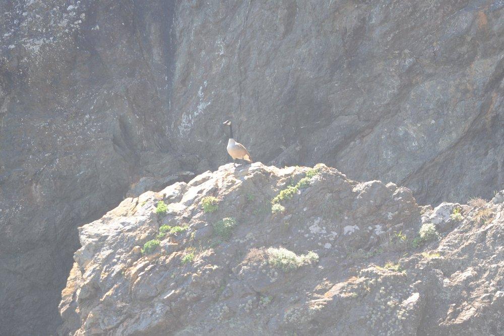 A Canada goose at Diablo Cove.
