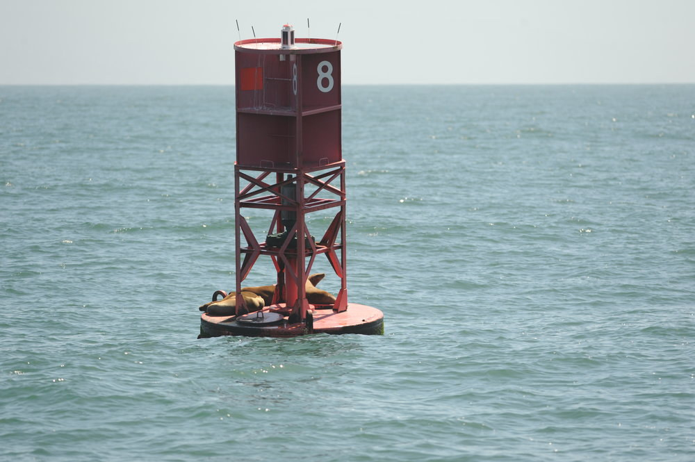 California sea lions resting on a shipping lane buoy.