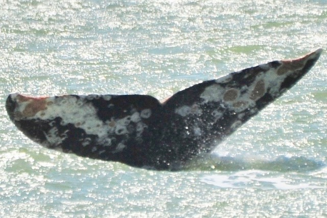 Captain John took this great close up photo of the whale's fluke. Super crusty!