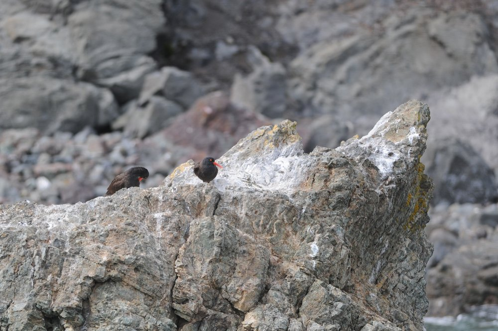 Black oystercatchers.