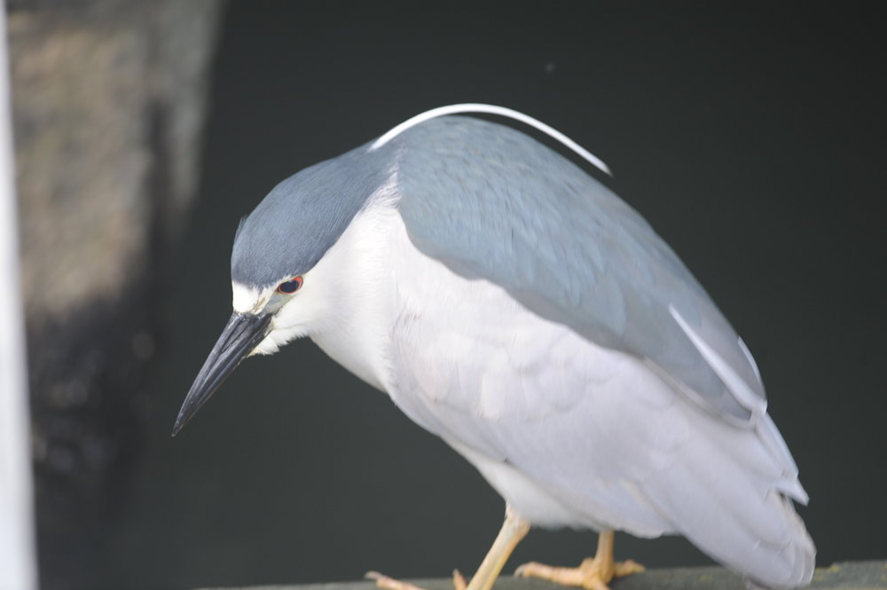 Black crowned night heron near Pier 39.