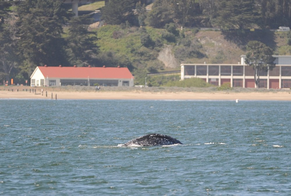 A gray whale's back.