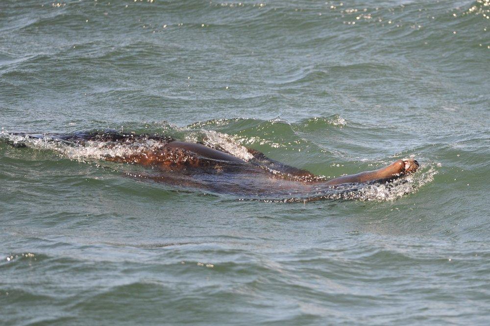 A sea lion flips on its back.