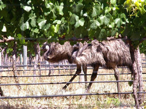 eagle-vale-vineyard-treats-emus-as-pets-not-pests.jpg
