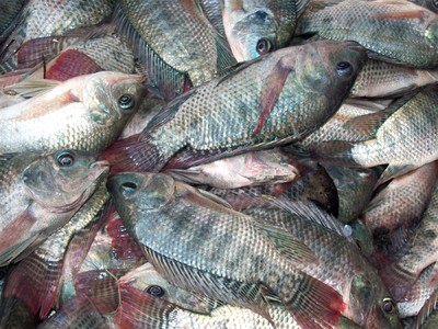 Is eating tilapia nutritious or harmful to health gaia for Is tilapia a healthy fish