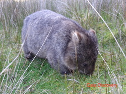 Tasmanian nature wanderers often come across the Common Wombat, a herbivore in spite of sharp claws.