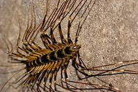 Giant centipede grows up to 15cm.