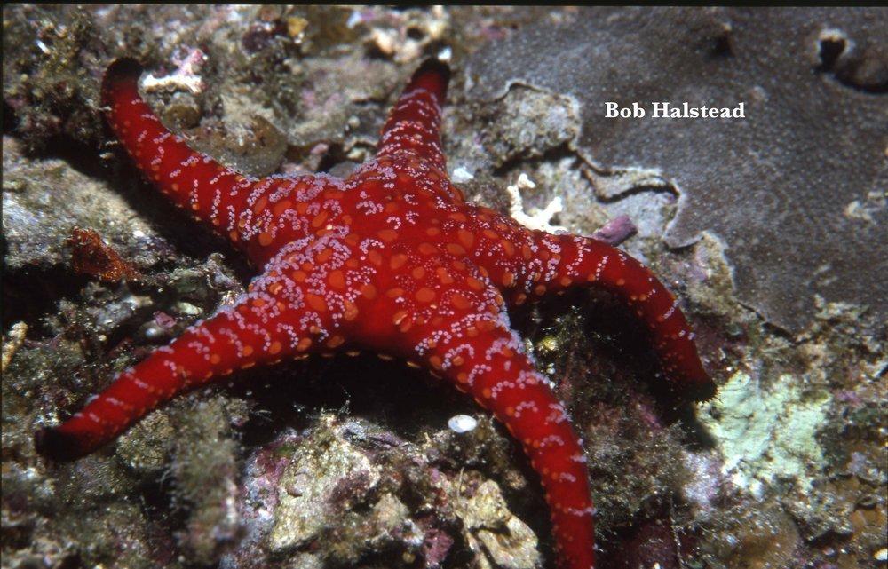 Stinging sea star