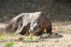 A Komodo Dragon on the prowl.