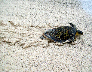 The marine turtle rescued by Pedro