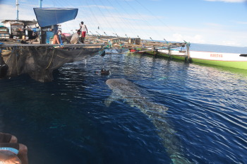The whale sharks at Cendrawasih are almost tame