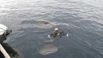 A diver enjoying a moment as a whale shark sandwich