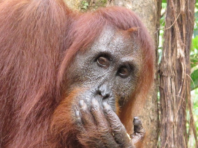 Male orangutans are loners. They rumble and howl as they move through the jungle to warn other orangutans to stay out of their way.