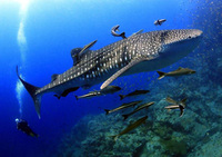 Whale shark finds the 'groomers' indispensable . Photo by Dr Siak.