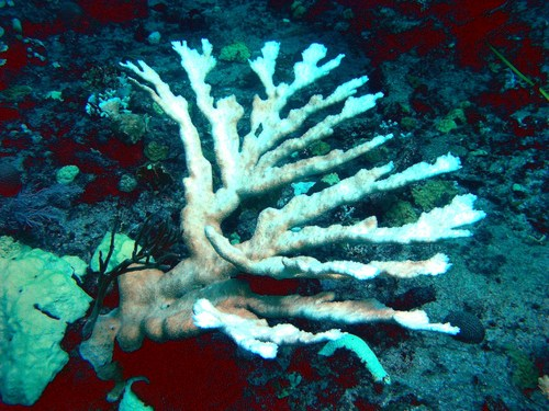 Coral bleaching has intensified in many parts of the world, including Singapore.