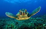 Hawksbill Turtle (Eretmocheyles imbricata)