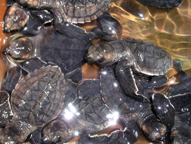 Baby turtles without protection face a myriad of predatory threats - not least of which is man