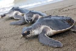 Once beyond baby size, turtles have a much better chance of survival when released into in the ocean