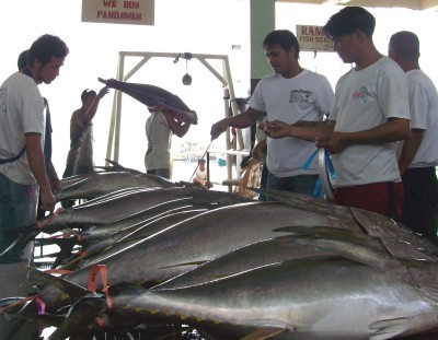 "Yellowfin tuna is considered as ""meat"" of the ocean."
