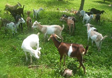 Goat Raising Offers Income Opportunity for Farmers — Gaia Discovery