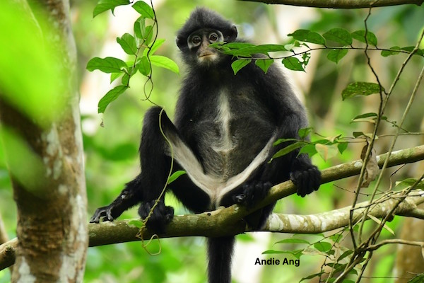 Roots & Shoots in Singapore & other conservation groups act to protect the critically endangered banded leaf monkey from dwindling even further.