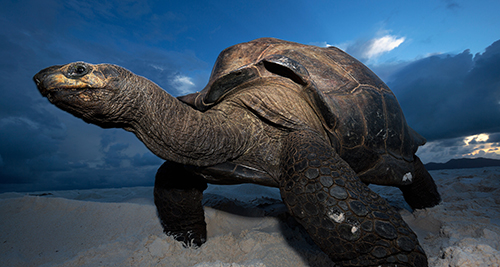 If luck is on your side, you can meet one of the 80 giant Aldabra tortoises when visiting the island