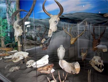 Various animals remembered through ithe bone museum