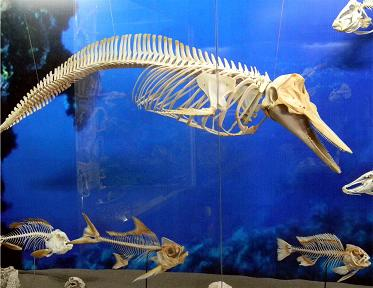 Sperm Whale Skeletion