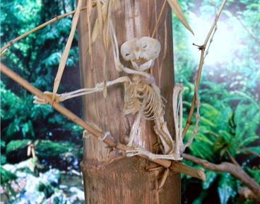Tarsier Skeleton