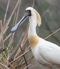 black face spoonbill.jpg