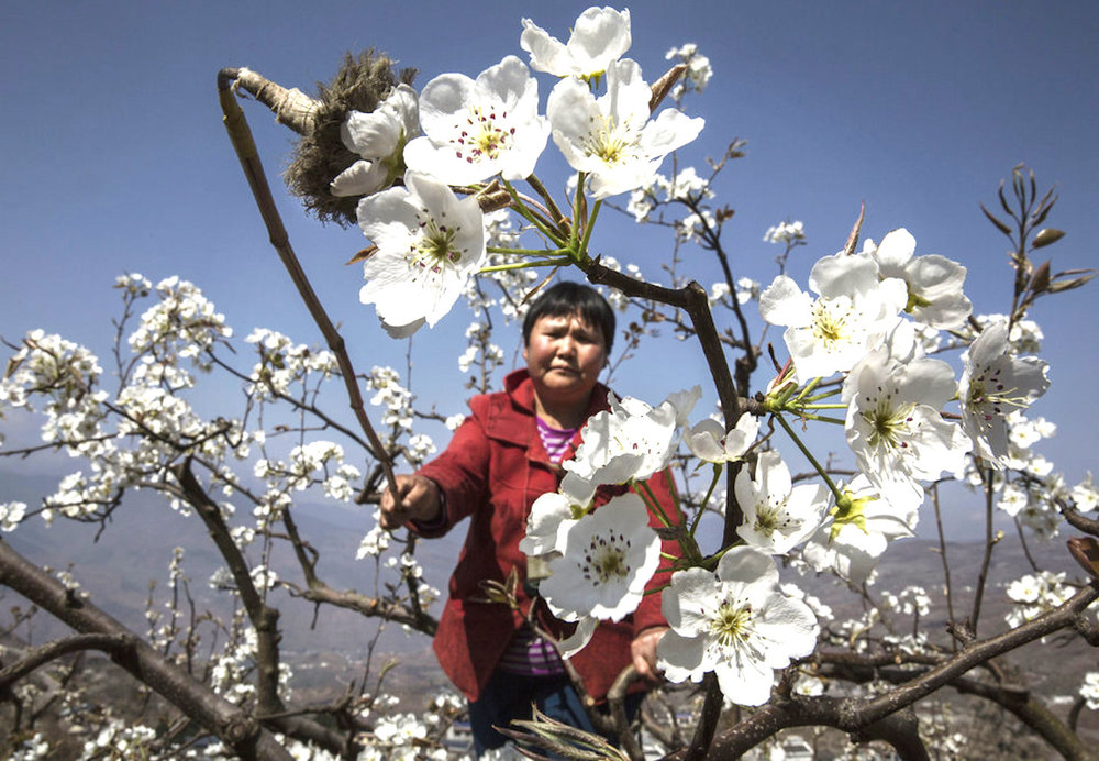 Chinese farmers pollinate by hand to ensure a decent fruit crop. (Huffington Post)
