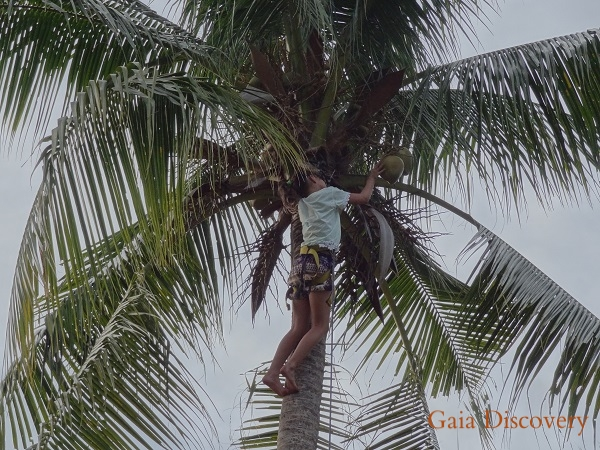 Climbing a coconut palm for juicy nuts is a popular activity at Loola Adventure Resort.