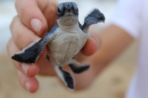 Turtle Sanctuary hatchlings are given a helping hand to find the sea - without being eaten on the way.
