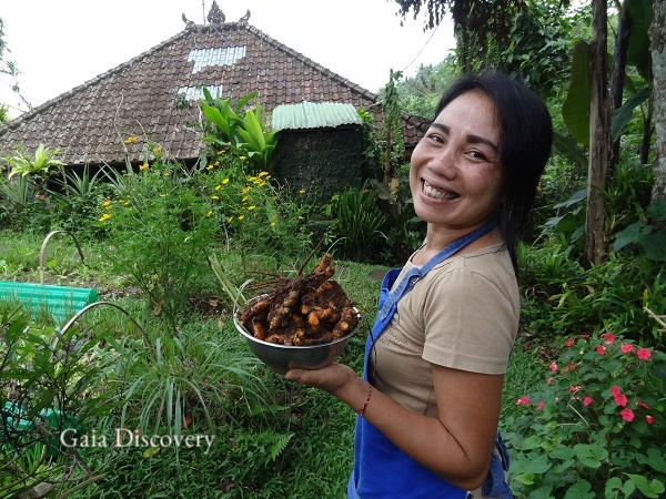 Head chef Ibu Iluh harvests fresh turmeric from Sarinbuana Eco Lodge's organic garden for a nutritious drink or meal.