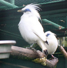 These Bali Starlings were part of Sarinbuana Eco Lodge's breeding programme