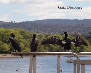 Black cormorants and pelicans abound at Tailrace Park, Launceston. Photo by Mallika Naguran.