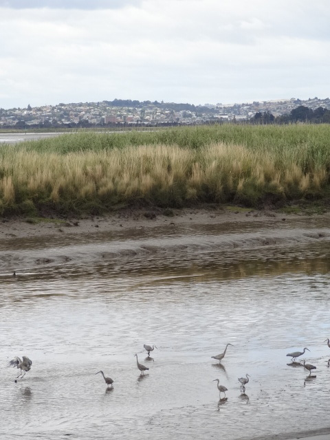 White-faced herons and many other birds flock to Tamar Valley Wetlands Reserve, just ten minutes drive from Launceston city. Photo by Mallika Naguran.