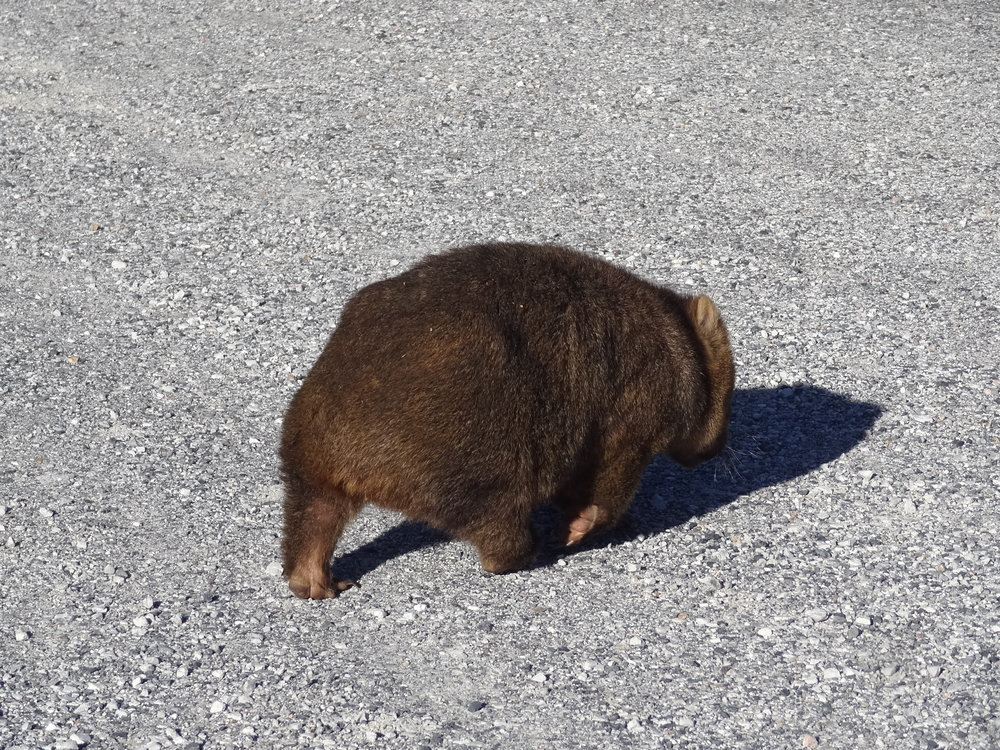 It's easy to chance upon a wombat at Cradle Mountain - but don't expect it to stop for a chat. Photo by Gaia Discovery.